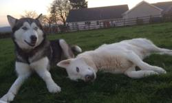 Hi we have 4 beautiful Husky puppies for sale. All