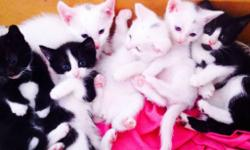 I have 6 kittens 3 black and white and 3 white ones