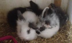 I have five baby mini lion lop rabbits for sale two
