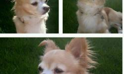 Male long haired chihuhua- fawn coloured. Went missing