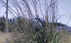 Wonderful Pampas Grass for sale. Within a couple of