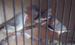 Zebra finches this years Males and females £4 each or 2