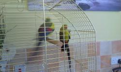 pair rock pebblers 3 years old birds only first 120 the
