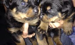 Rottweiler pups for sale 3 girls 1 boy left 375 for the