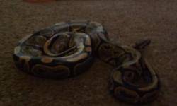 ROYAL PYTHON (M) WITH VIV COMES WITH LIGHT HIDES