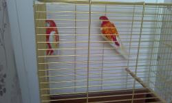 rubbino rosellas breeding pair birds only not tame 140