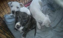 6 beautiful Staffordshire bull terrier cross puppies