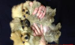 Gorgeous teacup Pom puppies. Ready for their new homes