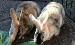 Two beautiful sisters, Harlequin Rex rabbits need new