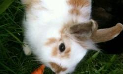 Loving friendly gentle natured lionhead bunny. Looking