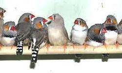 X40 plus zebra finches, adult males and females.£100