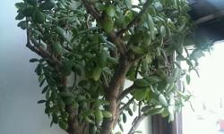 Very large Jade plant. Also known as money tree. Comes