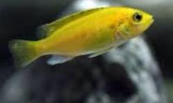 Yellow lab cichlids breeding group of 4 very nice fish